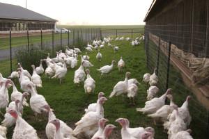 Free-range turkeys at an Applegate company farm